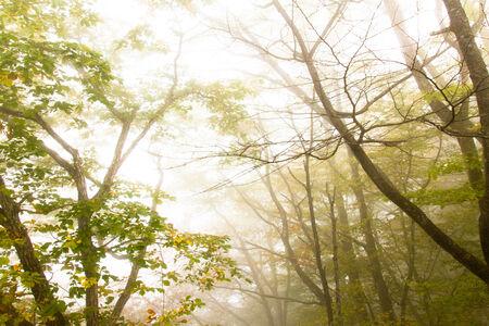 quercus: Quercus tree in the Mist Stock Photo