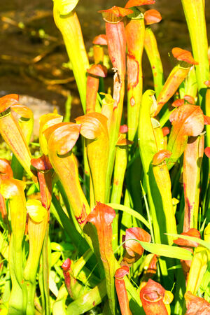 Sarracenia alata, Sarraceniaceae, North America photo