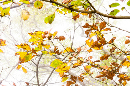Red quercus leaves in the Mist, Akechidaira photo