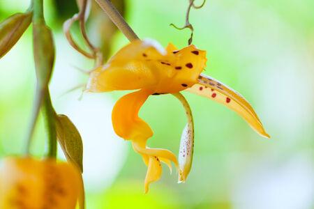 montane: Flower of Stanhopea jenischiana, South America Stock Photo