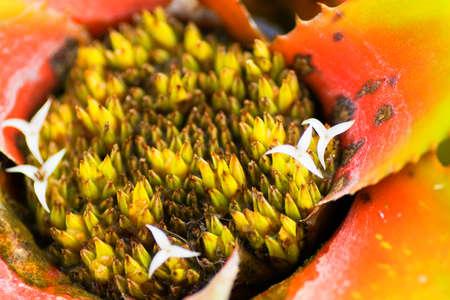 neoregelia: Neoregelia myrmecophila, pineapple Stock Photo