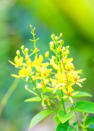 species of creeper: Tristellateia australasica, Malpighiaceae, Pacific Ocean Islands, tropical Asia, quasi-endangered species (NT) Stock Photo