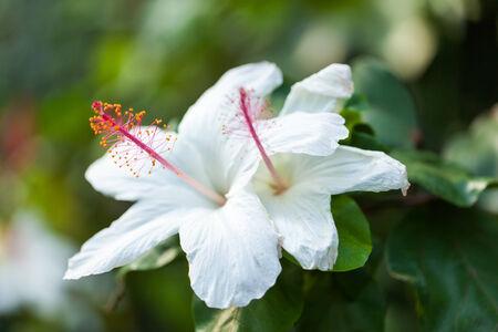 malvaceae: Tropical white bright flower hibiscus, Hibiscus arnottianus MALVACEAE, hawaii