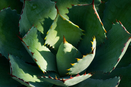 Agave potatprum var verschaffeltii, ASPARAGACEAE Department, Mexico photo