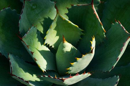 var: Agave potatprum var verschaffeltii, ASPARAGACEAE Department, Mexico Stock Photo