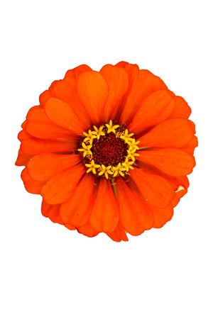 Couleur orange Zinnia fleurs
