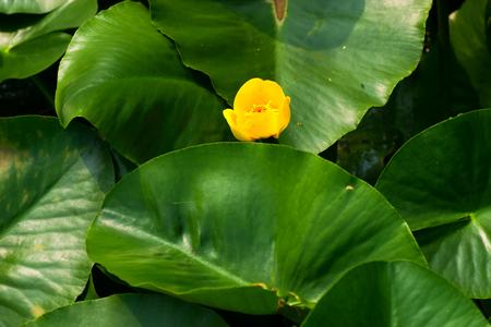 nymphaeaceae: Ozekouhone, Nuphar pumila var. Ozeenssis, Nymphaeaceae