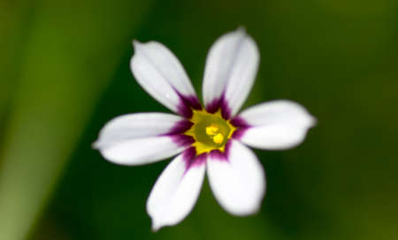 iridaceae: Close up of Niwazekishou, Sisyrinchium rosulatum, Iridaceae