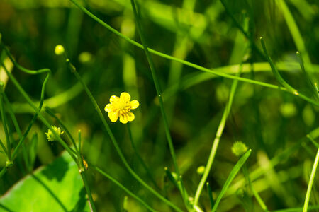 threatened: Spearwort, Ranunculaceae, Japan, near threatened NT Stock Photo
