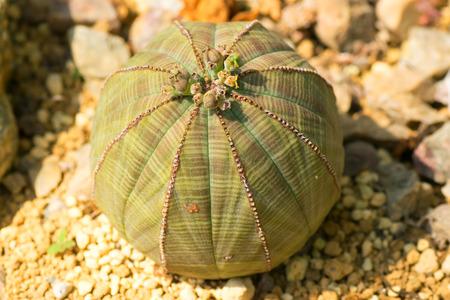 thorn tip: Euphorbia obesa, Euphorbiaceae, South Africa