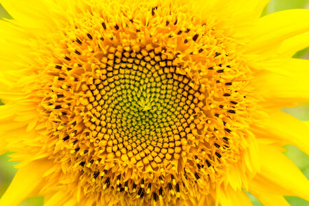 "Close up of ""Teddy bear"", Sunflower photo"
