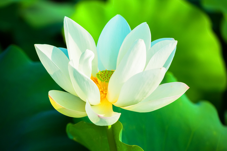 White lotus flower Archivio Fotografico