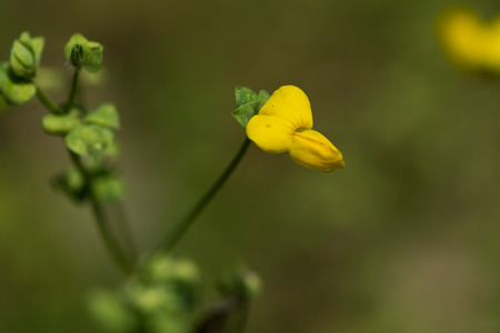 fabaceae: Lotus corniculatus var. Japonicus FABACEAE, perennial