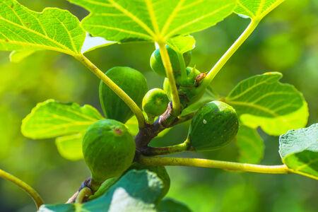 Figs, Moraceae