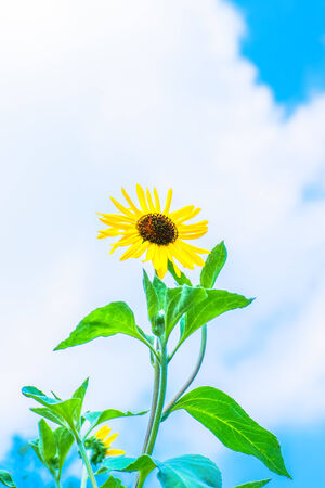 Blue sky and sunflower in Summer photo