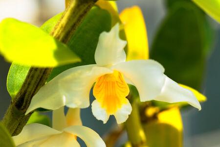 Dendrobium roseiodorum, Orchidaceae, Vietnum photo