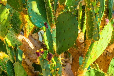 indies: Opunchia Tuna, Cactaceae, West Indies Stock Photo