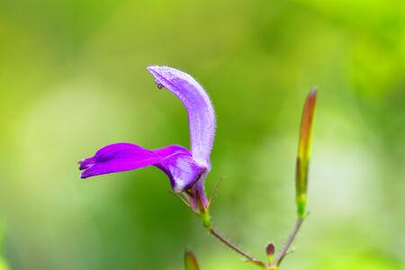Brillantaisia ??lamium, Acanthaceae photo