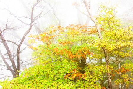 quercus: Quercus trees in the Fog
