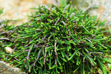 ericaceae: Cassiope, Ericaceae, Giappone Archivio Fotografico
