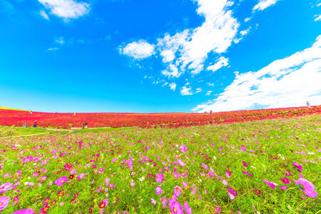 Cosmos field and red Kochia