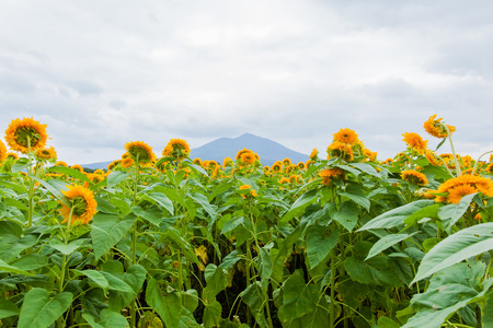 "Field of ""Tohoku Yae"" and Mount Tsukuba in Summer photo"