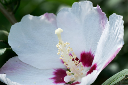 insoluble: Close up of Hibiscus syriacus flower, Malvaceae