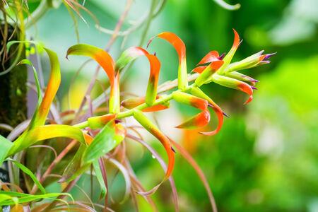 tillandsia: Tillandsia leiboldiana, Bromeliaceae, tropical America Stock Photo