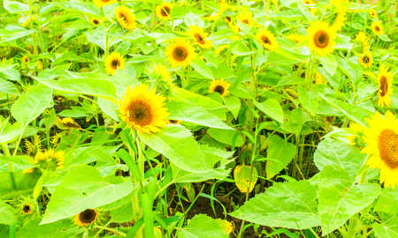 "Field of ""Child"", Sunflower in Summer photo"