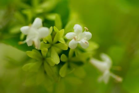 chinensis: Abelia chinensis var. Ionandra, Caprifoliaceae Stock Photo