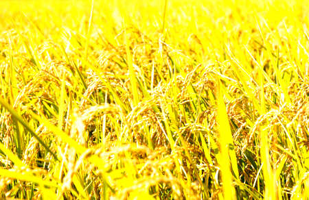 fruitful: Golden ears of rice Stock Photo