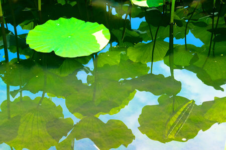 able: Water lily pond Stock Photo
