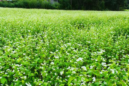 Buckwheat field photo
