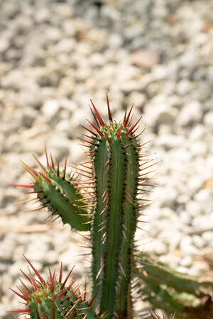 thorn tip: Euphorbia enopla, Euphorbiaceae, South Africa