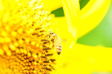 Honey bee on the center of Titan sunflower