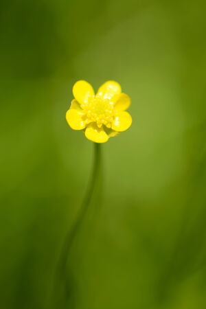 threatened: Flower of Spearwort, Ranunculaceae, Japan, near threatened NT
