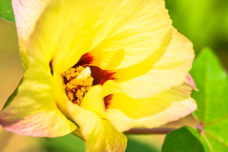 malvaceae: Gossypium hirsutum, Malvaceae, America