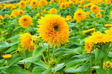 """Tohoku Yae"", Sunflowers in Summer photo"
