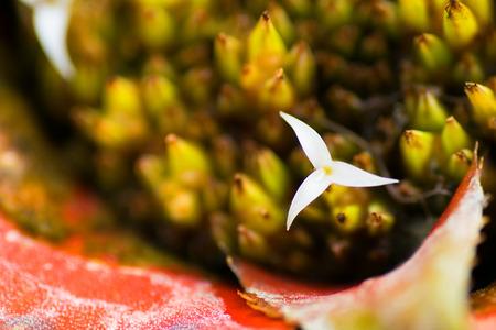 neoregelia: Neoregelia myrmecophila flower