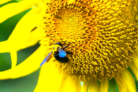 titan: Carpenter bee on the center of Titan sunflower