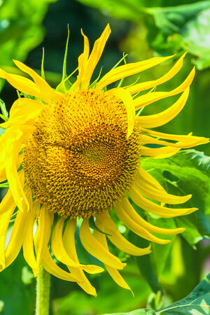 titan: Titan sunflower Stock Photo