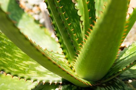 Shape of Aloe humilis, XANTHORRHOEACEAE, South Africa