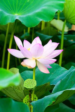 Pink lotus flower 免版税图像