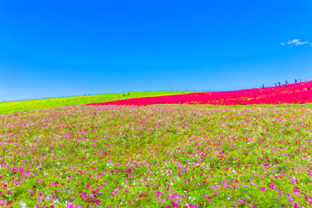 Field of cosmos flowers under the sky 免版税图像
