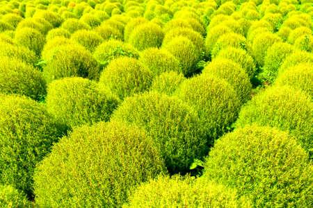 Green kochia 免版税图像