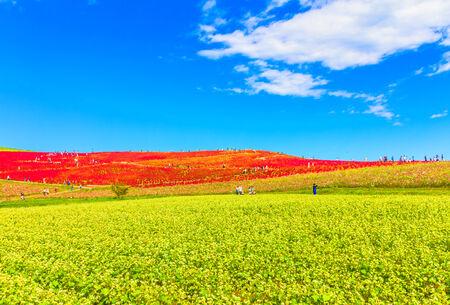 Buckwheat field and the blue sky