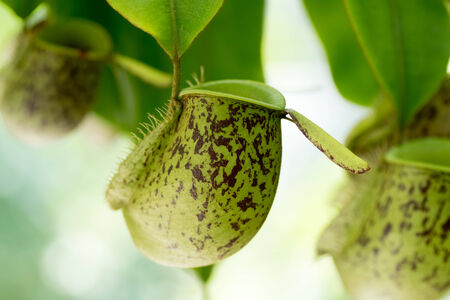 Nepenthes ampullaria., Nepenthaceae, New Guinea