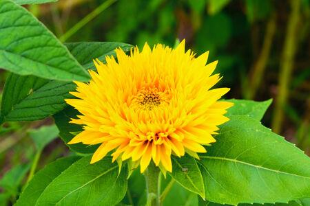 """""""Tohoku Yae"""", Sunflower in Summer"""