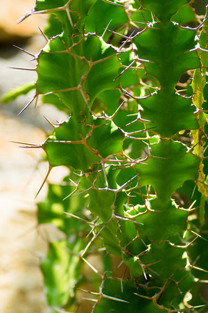 Euphorbia angularia, Euphorbiaceae, the eastern United States