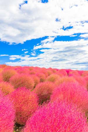 Field of red Kochia 免版税图像